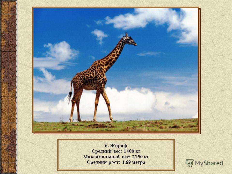 6. Жираф Средний вес: 1400 кг Максимальный вес: 2150 кг Средний рост: 4.69 метра