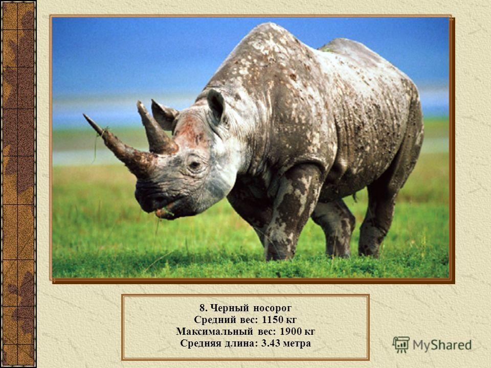 8. Черный носорог Средний вес: 1150 кг Максимальный вес: 1900 кг Средняя длина: 3.43 метра