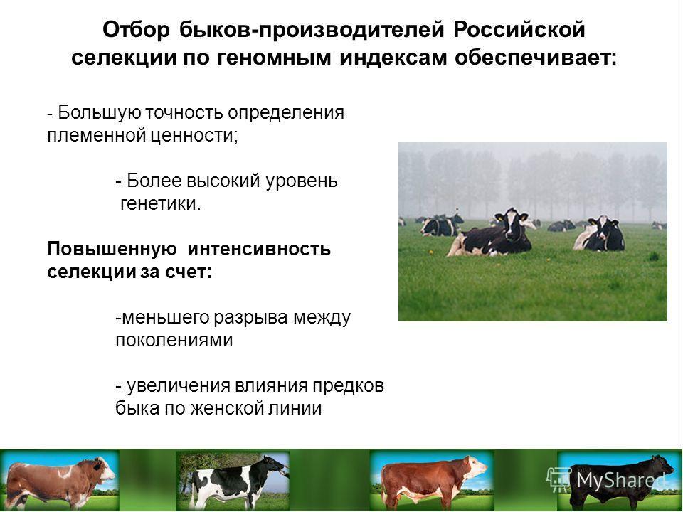 Отбор быков-производителей Российской селекции по геномным индексам обеспечивает: - Большую точность определения племенной ценности; - Более высокий уровень генетики. Повышенную интенсивность селекции за счет: -меньшего разрыва между поколениями - ув