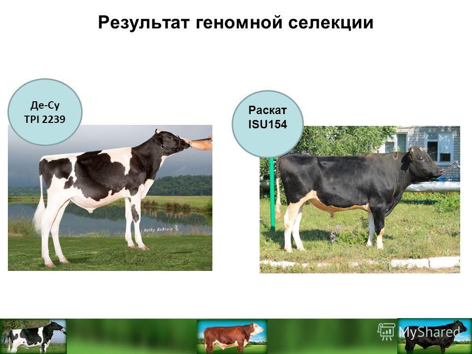 Де-Су TPI 2239 Результат геномной селекции 154 Раскат ISU154