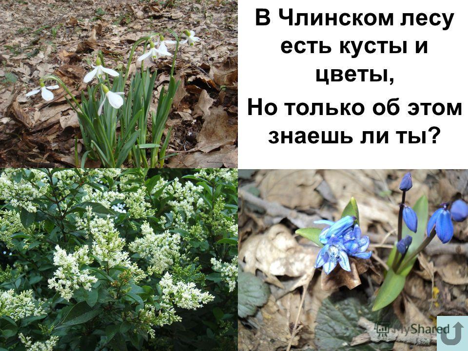 В Члинском лесу есть кусты и цветы, Но только об этом знаешь ли ты?