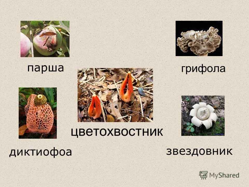 грифола цветохвостник парша диктиофоа звездовник