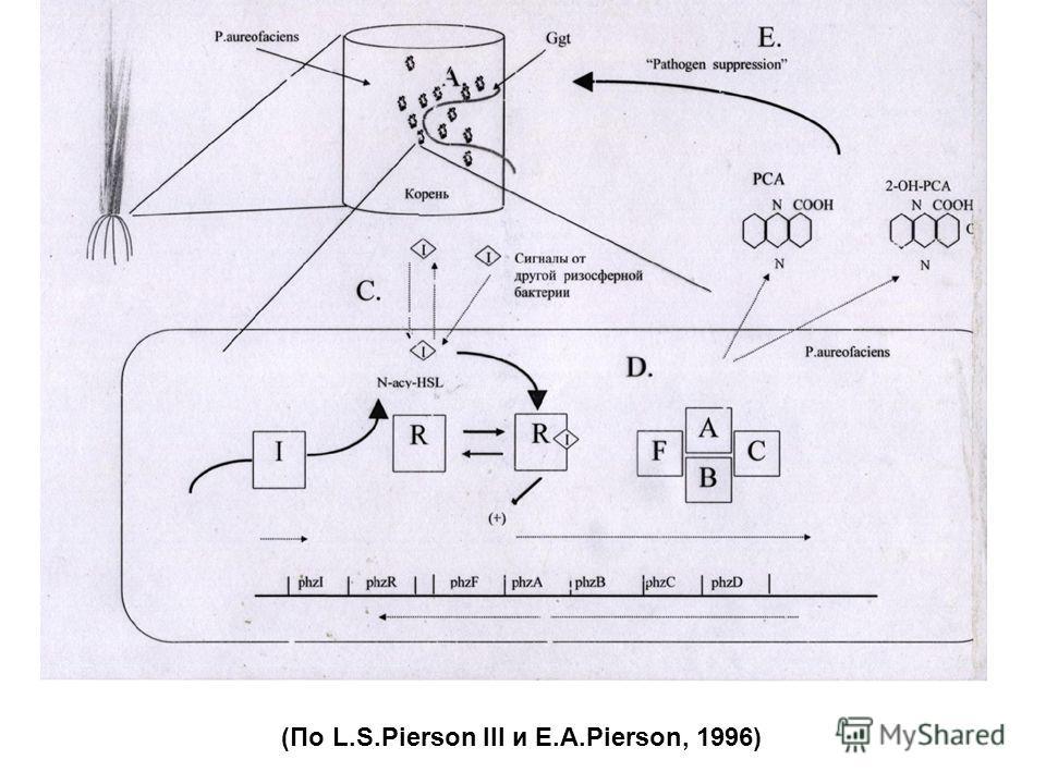 (По L.S.Pierson III и E.A.Pierson, 1996)