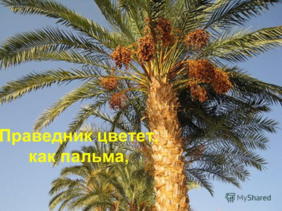 Праведник цветет, как пальма,