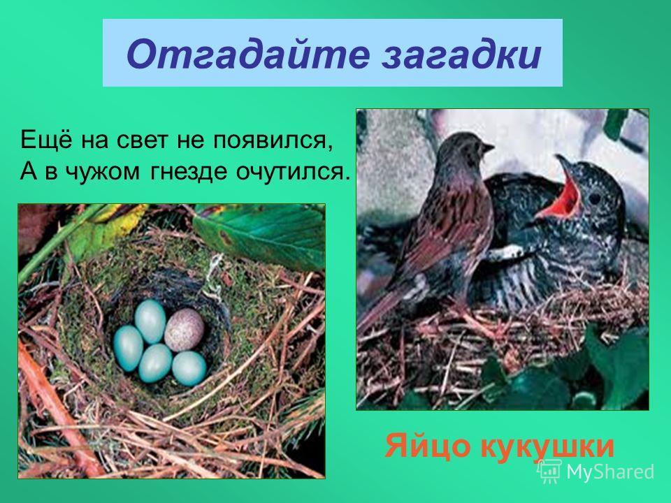 Отгадайте загадки Яйцо кукушки Ещё на свет не появился, А в чужом гнезде очутился.