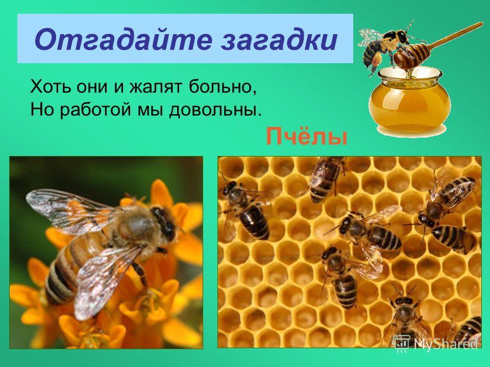 Отгадайте загадки Хоть они и жалят больно, Но работой мы довольны. Пчёлы