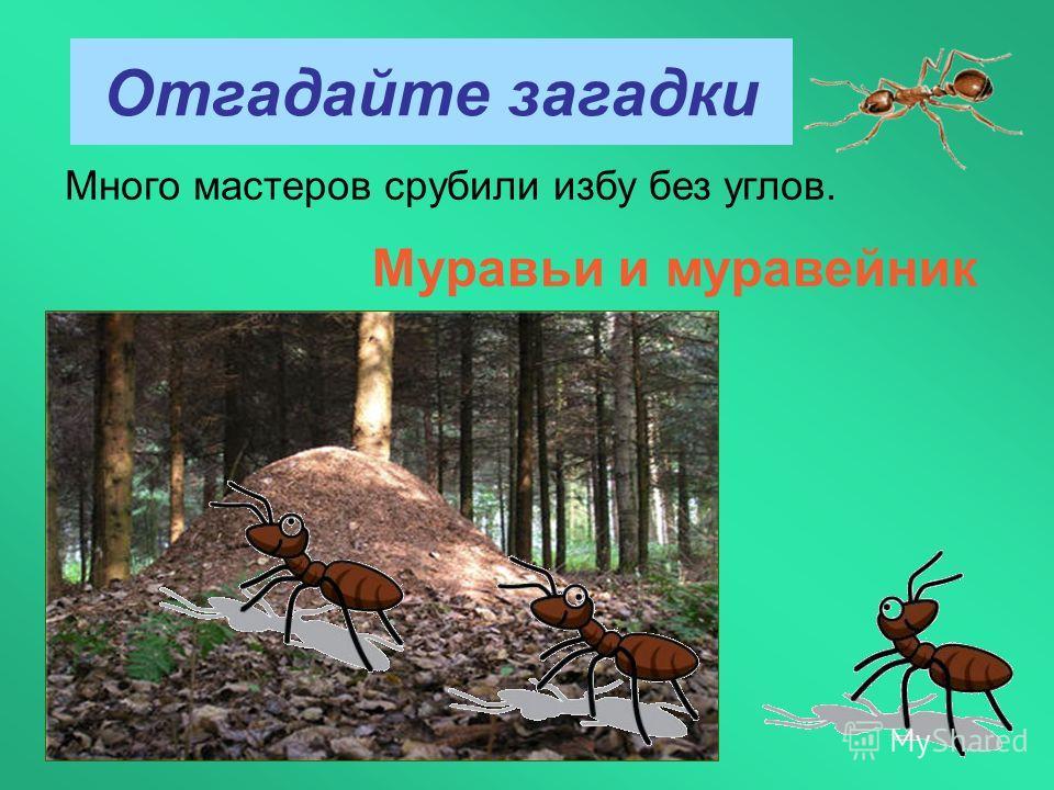 Отгадайте загадки Много мастеров срубили избу без углов. Муравьи и муравейник