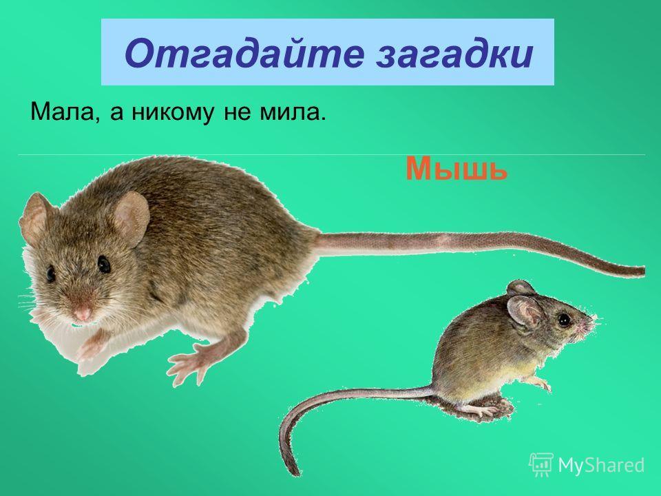 Отгадайте загадки Мала, а никому не мила. Мышь