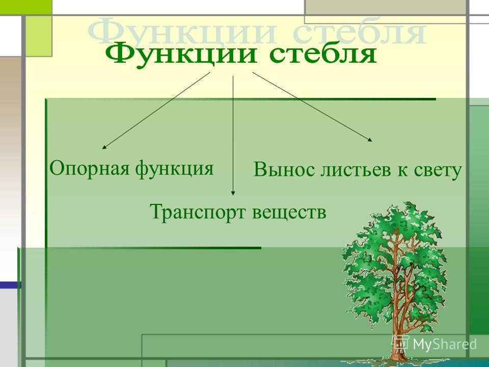 Опорная функция Транспорт веществ Вынос листьев к свету