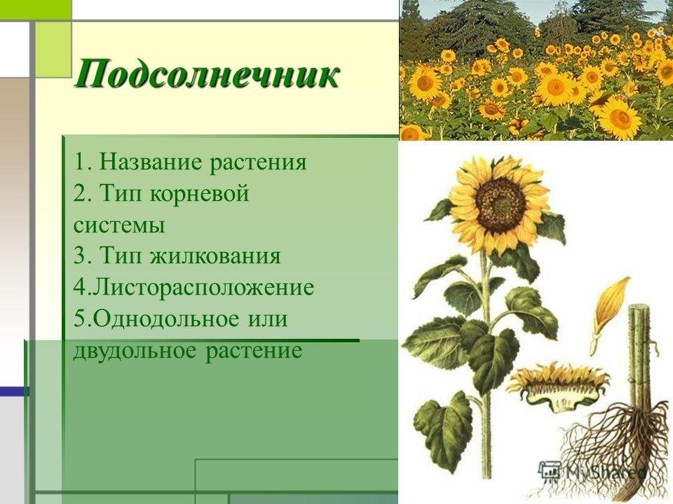 Подсолнечник 1. Название растения 2. Тип корневой системы 3. Тип жилкования 4.Листорасположение 5.Однодольное или двудольное растение