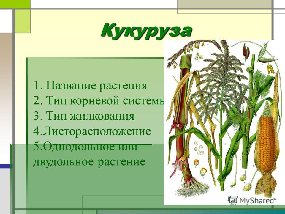 Кукуруза 1. Название растения 2. Тип корневой системы 3. Тип жилкования 4.Листорасположение 5.Однодольное или двудольное растение