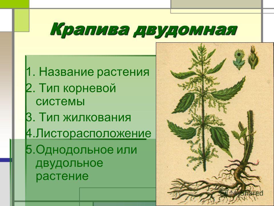 Крапива двудомная Крапива двудомная 1. Название растения 2. Тип корневой системы 3. Тип жилкования 4.Листорасположение 5.Однодольное или двудольное растение