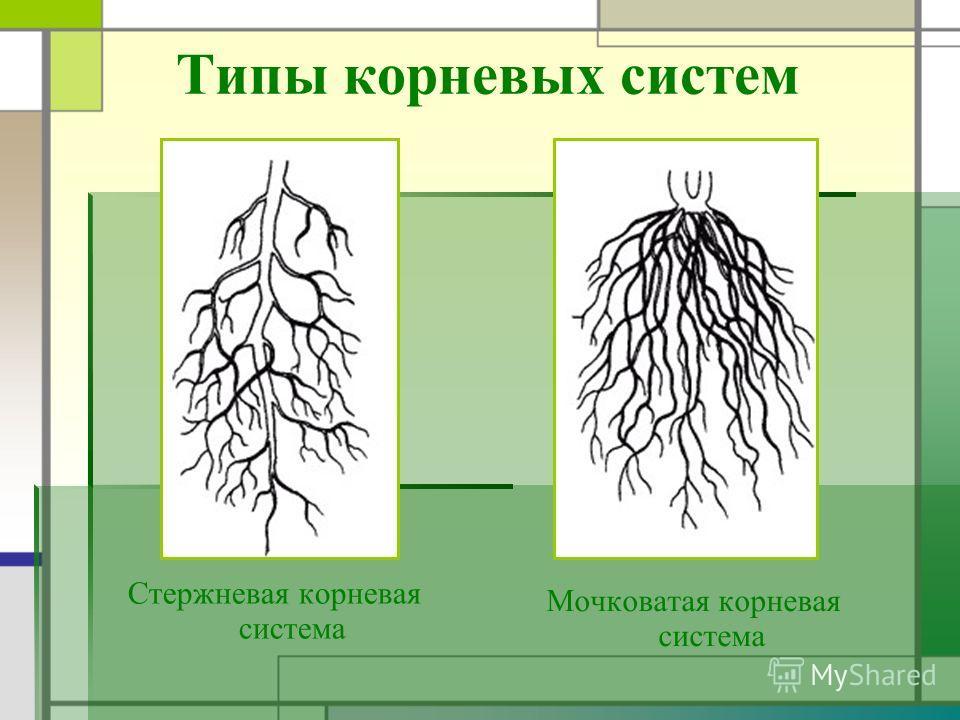 Типы корневых систем Стержневая корневая система Мочковатая корневая система