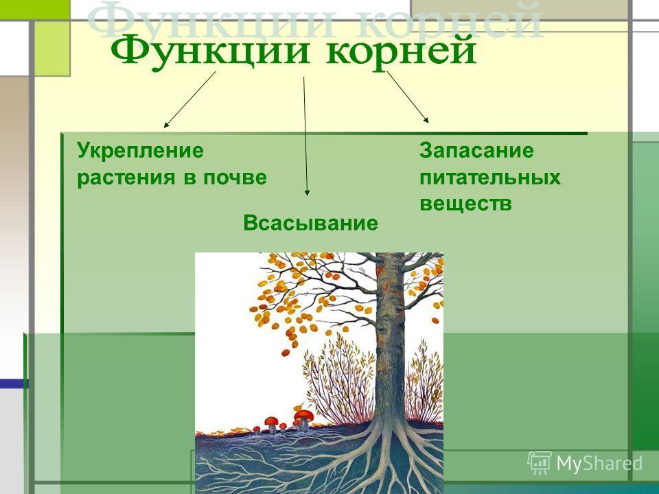 Всасывание Укрепление растения в почве Запасание питательных веществ