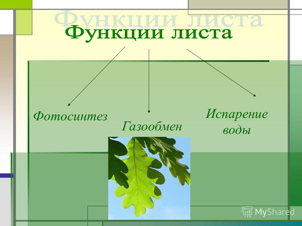 Фотосинтез Газообмен Испарение воды