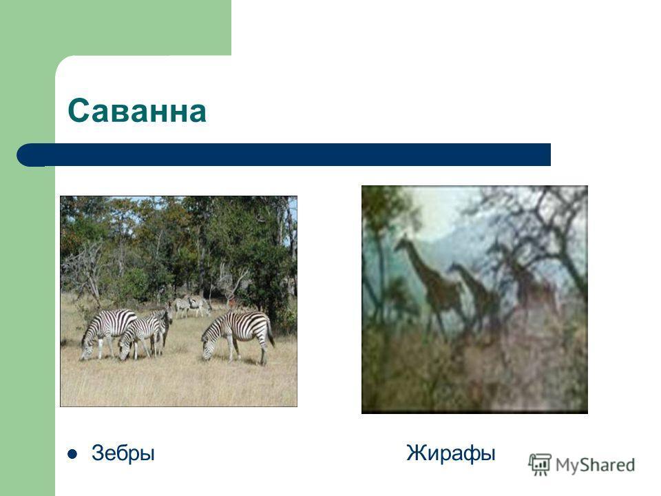 Саванна Зебры Жирафы