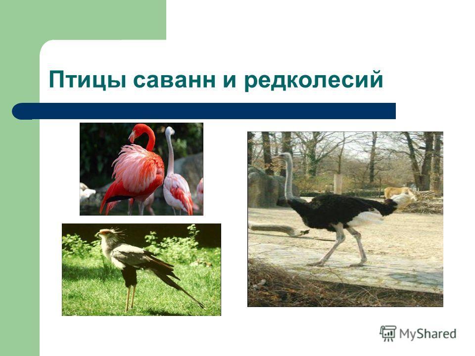 Птицы саванн и редколесий