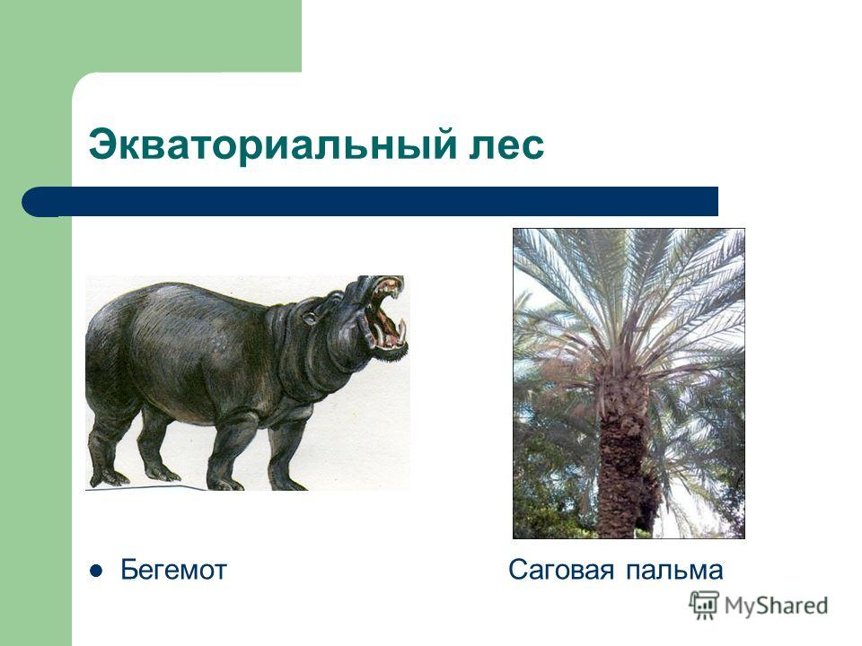 Экваториальный лес Бегемот Саговая пальма