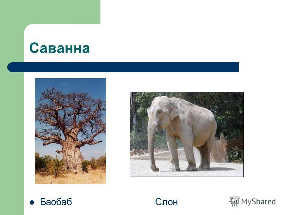 Саванна Баобаб Слон