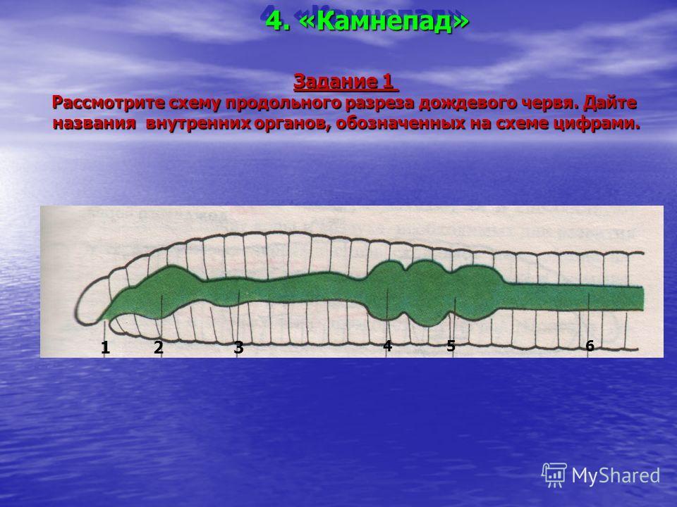 4. «Камнепад» Задание 1 Рассмотрите схему продольного разреза дождевого червя. Дайте названия внутренних органов, обозначенных на схеме цифрами. 123 456