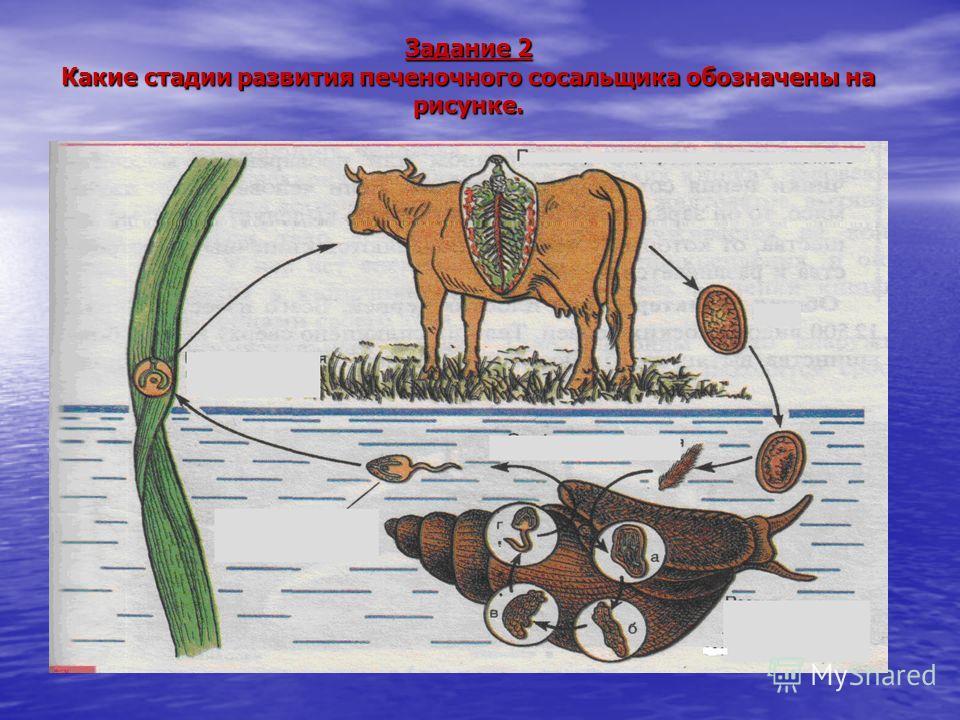 Задание 2 Какие стадии развития печеночного сосальщика обозначены на рисунке.