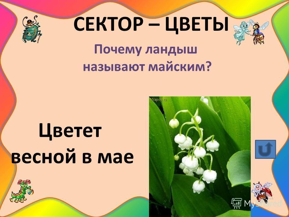 СЕКТОР – ЦВЕТЫ Почему ландыш называют майским? Цветет весной в мае