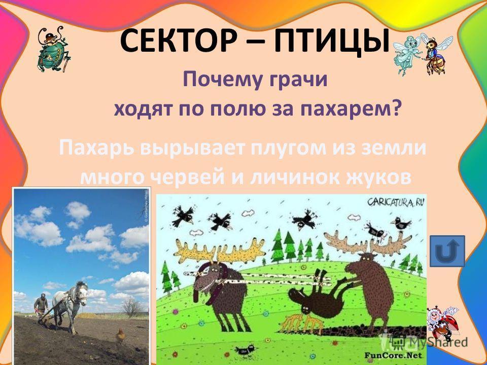 СЕКТОР – ПТИЦЫ Почему грачи ходят по полю за пахарем? Пахарь вырывает плугом из земли много червей и личинок жуков