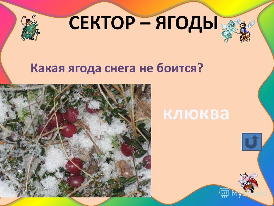 СЕКТОР – ЯГОДЫ Какая ягода снега не боится? клюква