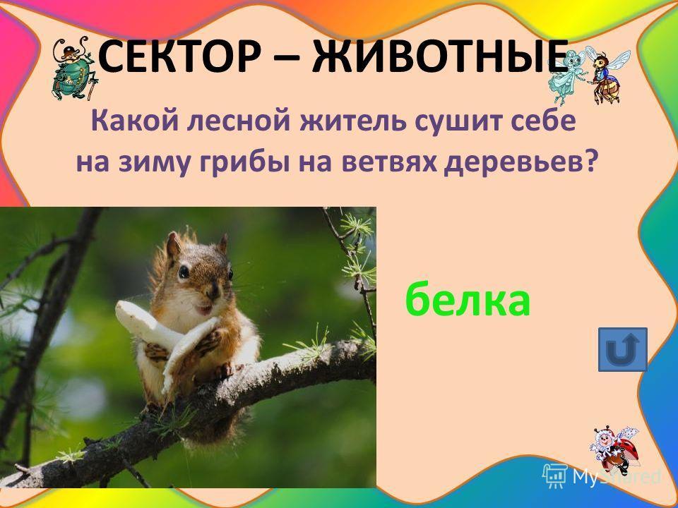 СЕКТОР – ЖИВОТНЫЕ Какой лесной житель сушит себе на зиму грибы на ветвях деревьев? белка