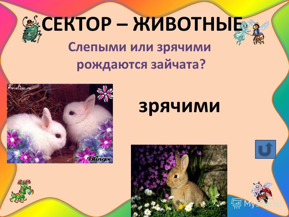 СЕКТОР – ЖИВОТНЫЕ Слепыми или зрячими рождаются зайчата? зрячими