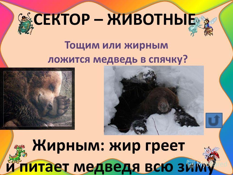 СЕКТОР – ЖИВОТНЫЕ Тощим или жирным ложится медведь в спячку? Жирным: жир греет и питает медведя всю зиму