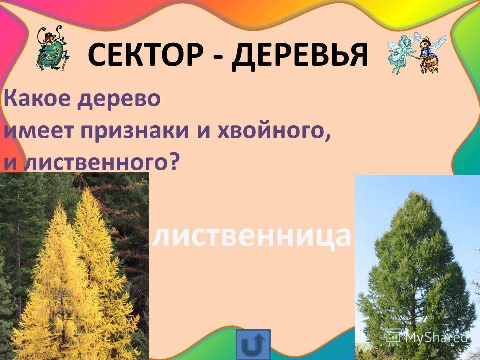 СЕКТОР - ДЕРЕВЬЯ Какое дерево имеет признаки и хвойного, и лиственного? лиственница