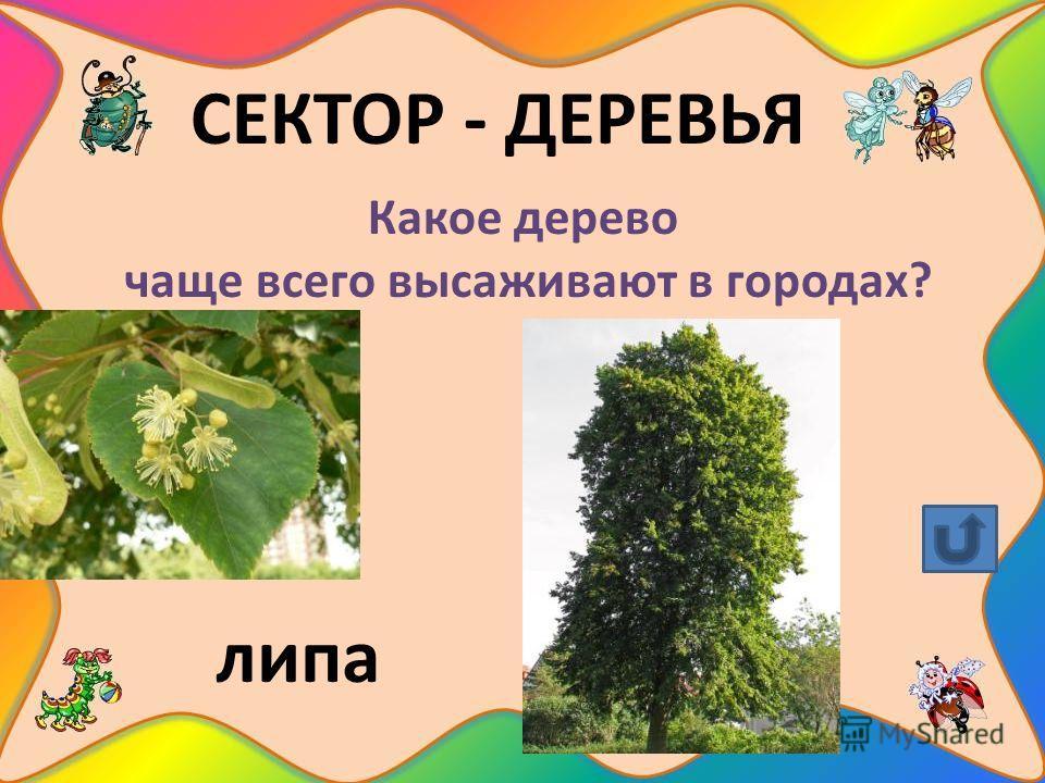 СЕКТОР - ДЕРЕВЬЯ Какое дерево чаще всего высаживают в городах? липа