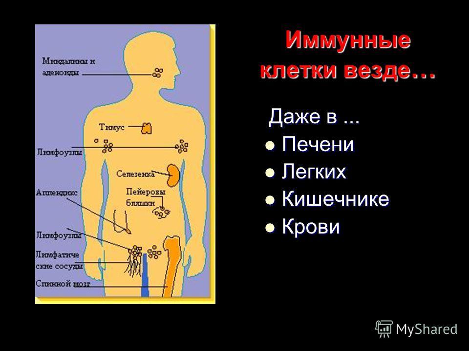 Иммунные клетки везде … Даже в... Даже в... Печени Печени Легких Легких Кишечнике Кишечнике Крови Крови