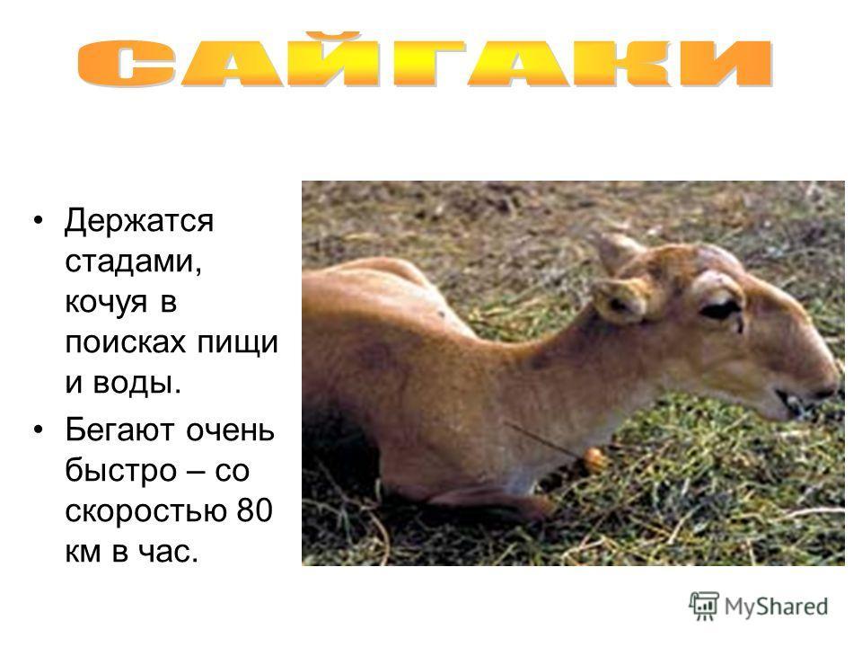 Держатся стадами, кочуя в поисках пищи и воды. Бегают очень быстро – со скоростью 80 км в час.