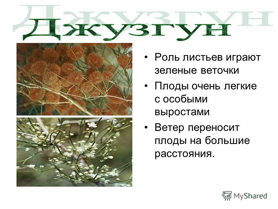 Роль листьев играют зеленые веточки Плоды очень легкие с особыми выростами Ветер переносит плоды на большие расстояния.
