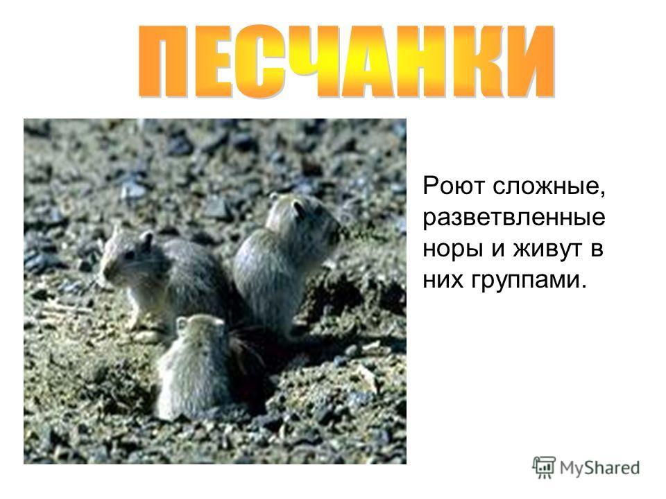 Роют сложные, разветвленные норы и живут в них группами.