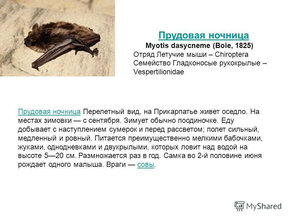 Прудовая ночницаПрудовая ночница Перелетный вид, на Прикарпатье живет оседло. На местах зимовки с сентября. Зимует обычно поодиночке. Еду добывает с наступлением сумерок и перед рассветом; полет сильный, медленный и ровный. Питается преимущественно м