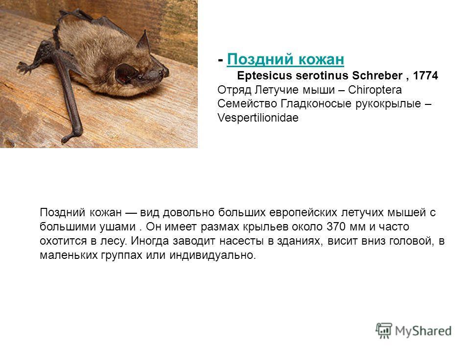 Поздний кожан вид довольно больших европейских летучих мышей с большими ушами. Он имеет размах крыльев около 370 мм и часто охотится в лесу. Иногда заводит насесты в зданиях, висит вниз головой, в маленьких группах или индивидуально. - Поздний кожанП