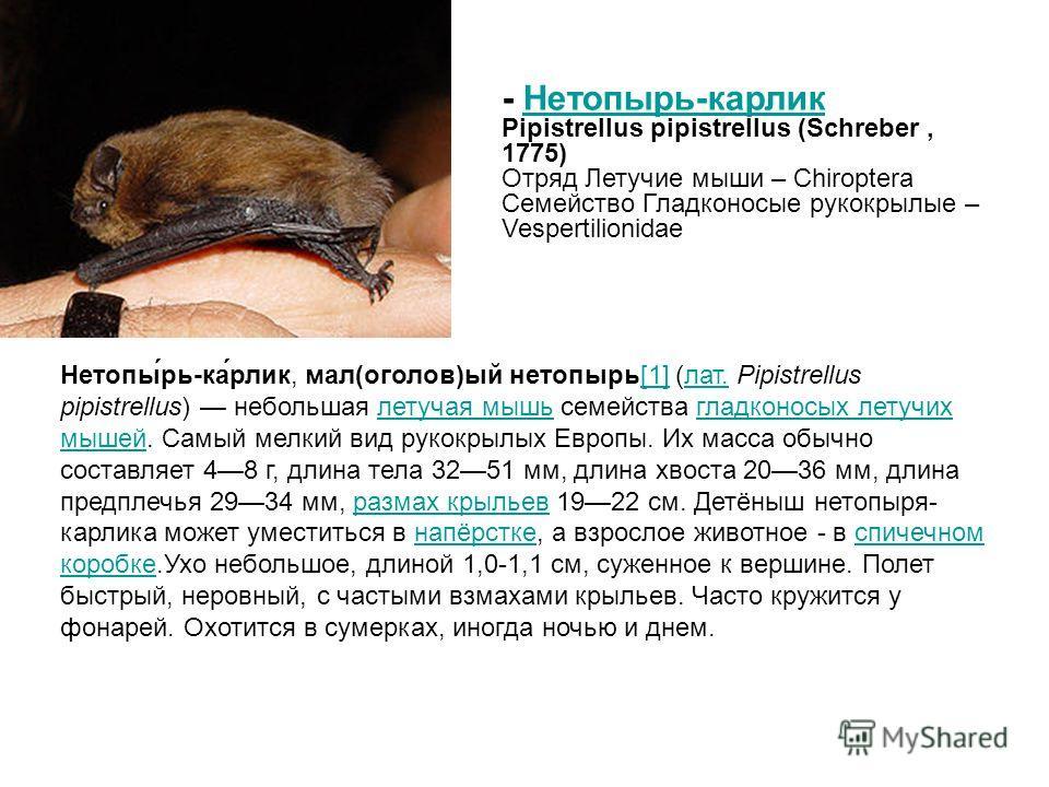Нетопы́рь-ка́рлик, мал(оголов)ый нетопырь[1] (лат. Pipistrellus pipistrellus) небольшая летучая мышь семейства гладконосых летучих мышей. Самый мелкий вид рукокрылых Европы. Их масса обычно составляет 48 г, длина тела 3251 мм, длина хвоста 2036 мм, д
