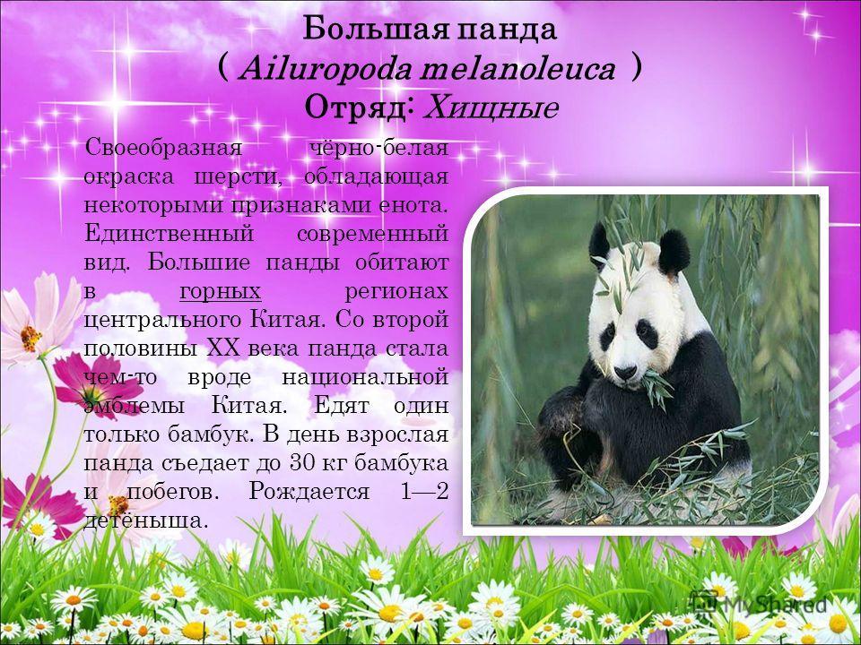 Большая панда ( Ailuropoda melanoleuca ) Отряд: Хищные Своеобразная чёрно-белая окраска шерсти, обладающая некоторыми признаками енота. Единственный современный вид. Большие панды обитают в горных регионах центрального Китая. Со второй половины XX ве