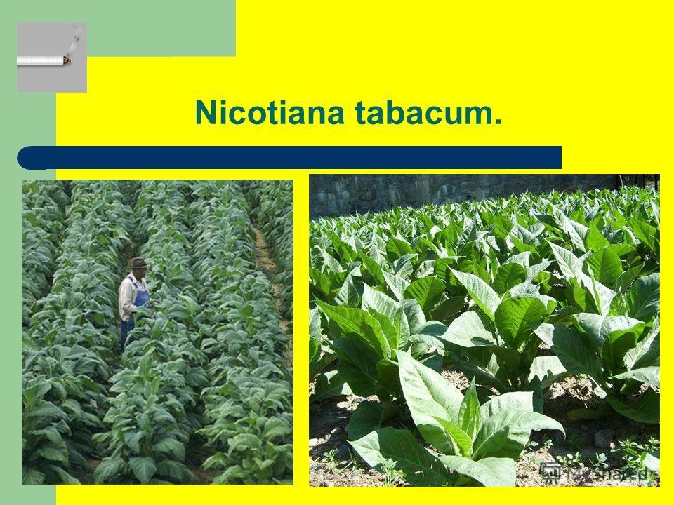 Nicotiana tabacum.