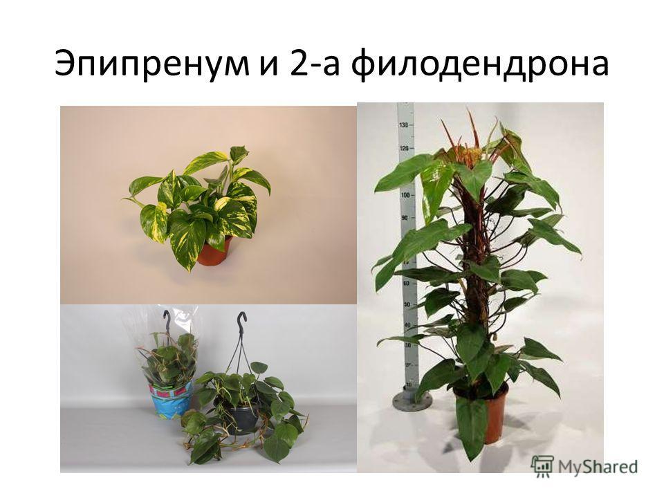 Эпипренум и 2-а филодендрона