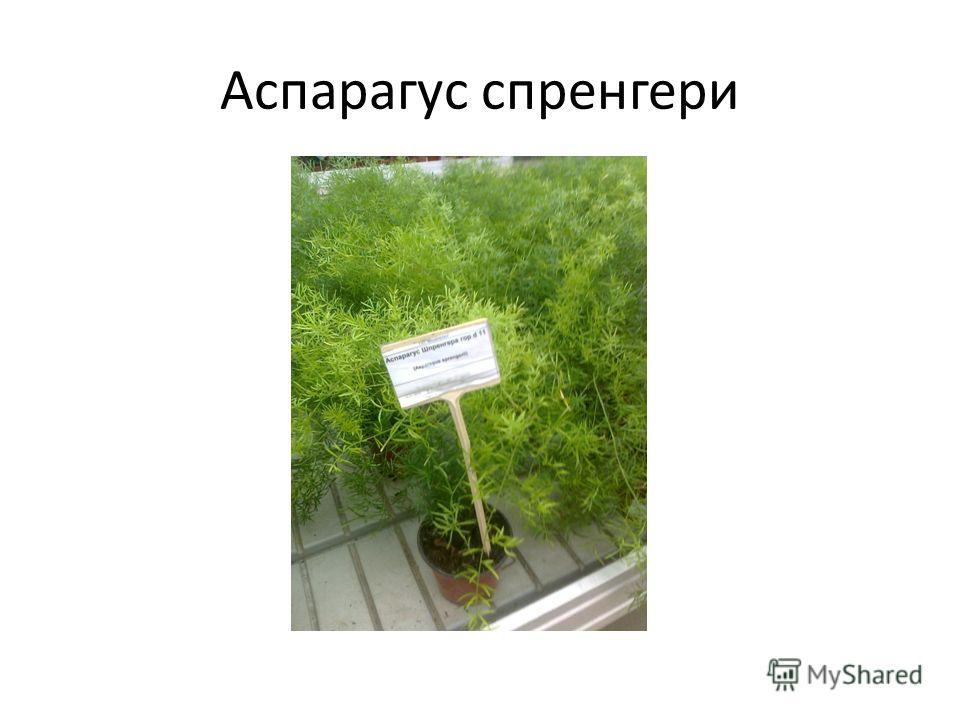 Аспарагус спренгери
