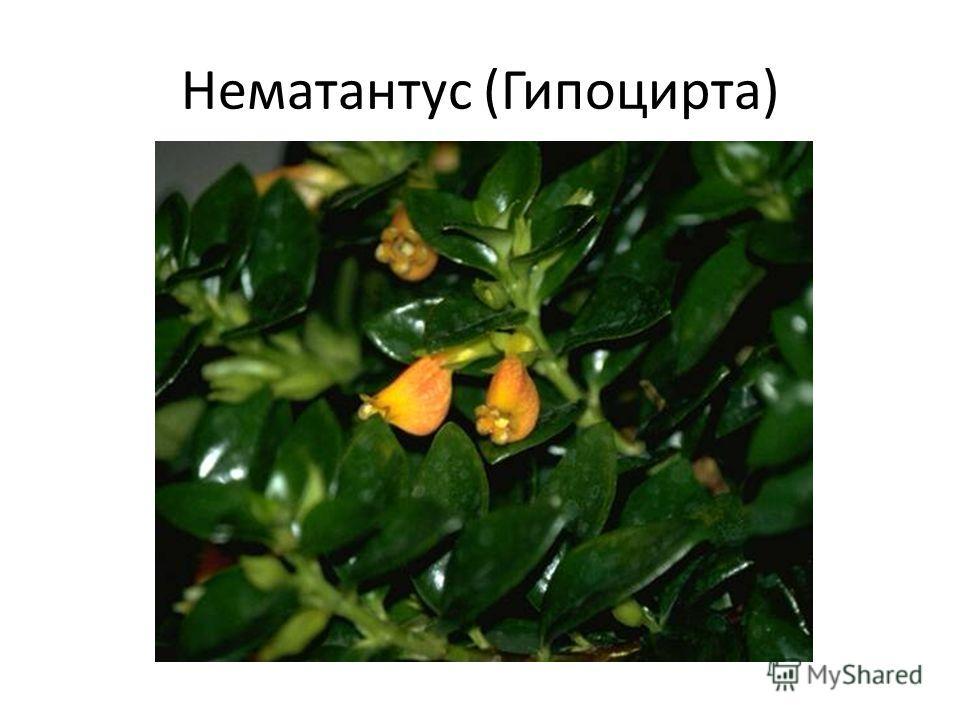 Нематантус (Гипоцирта)