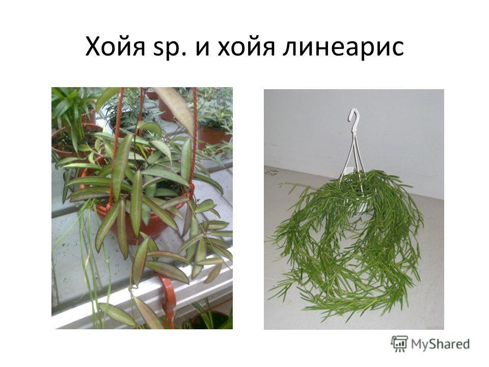 Хойя sp. и хойя линеарис