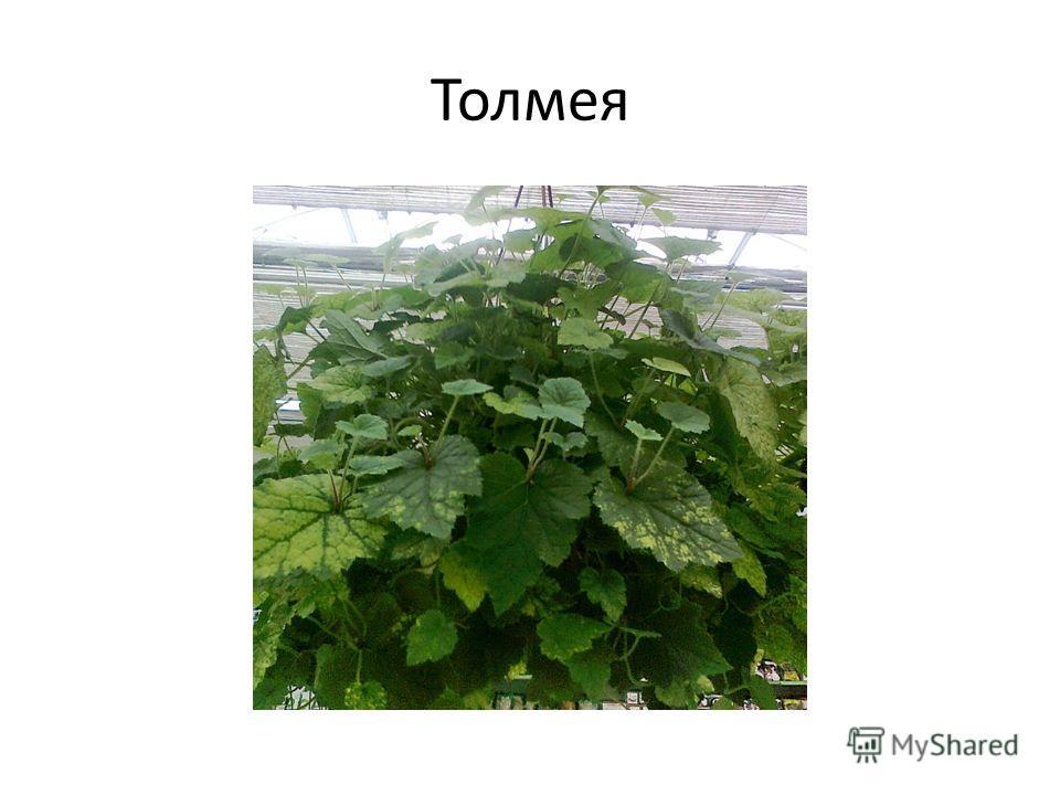 Толмея