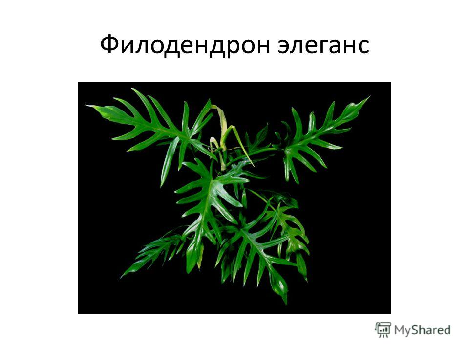 Филодендрон элеганс