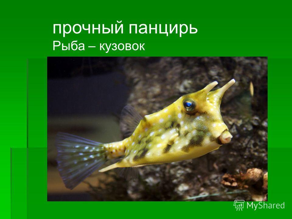 прочный панцирь Рыба – кузовок