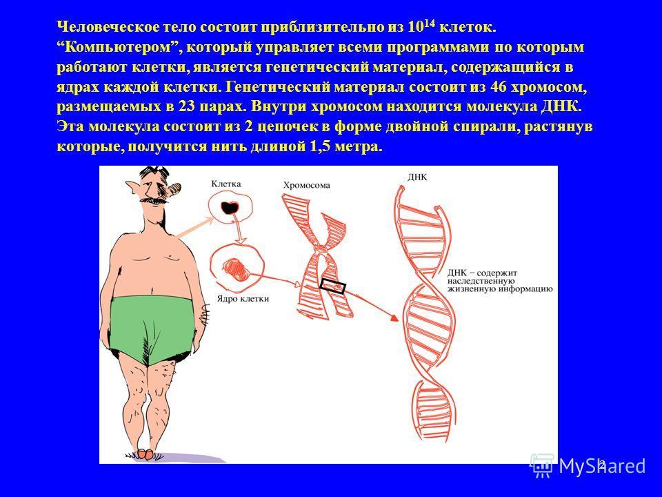 2 Человеческое тело состоит приблизительно из 10 14 клеток.Компьютером, который управляет всеми программами по которым работают клетки, является генетический материал, содержащийся в ядрах каждой клетки. Генетический материал состоит из 46 хромосом,